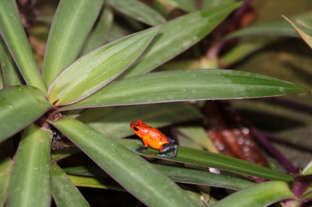 Costa Rican poison dart frog in his natural habitat!